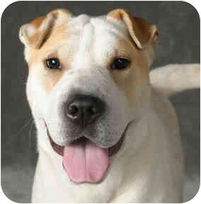 Shar Pei/Australian Cattle Dog Mix Dog for adoption in Chicago, Illinois - Gidget