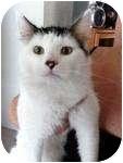 Turkish Van Cat for adoption in Warren, Michigan - Skittles