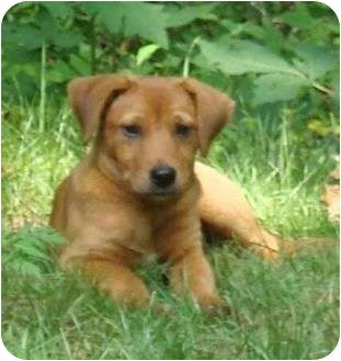 Hound (Unknown Type) Mix Puppy for adoption in Hagerstown, Maryland - Quincy