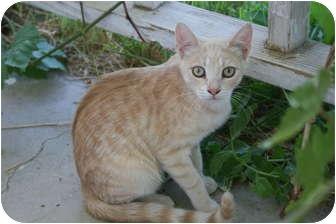 Domestic Shorthair Kitten for adoption in Fallon, Nevada - Fudge