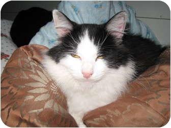 Domestic Longhair Cat for adoption in Trevose, Pennsylvania - Princess Diana