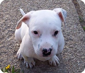 American Pit Bull Terrier/Labrador Retriever Mix Puppy for adoption in Rochester, New York - Gus