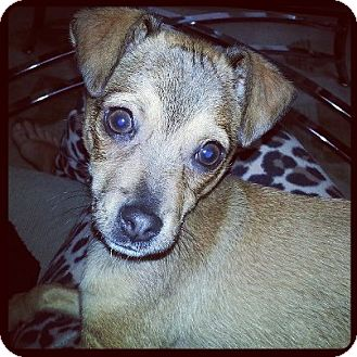 Chihuahua Mix Puppy for adoption in Burbank, California - Cheezit - Chihuahua puppy!