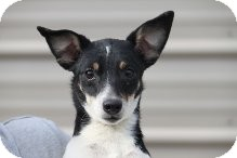Jack Russell Terrier/Terrier (Unknown Type, Small) Mix Dog for adoption in Russellville, Kentucky - Cookie