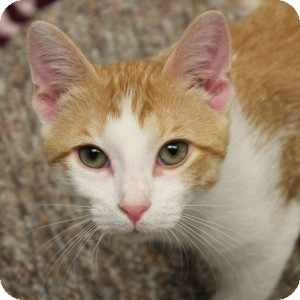 Domestic Shorthair Kitten for adoption in Naperville, Illinois - Copper