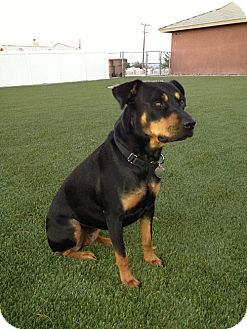 Rottweiler Mix Dog for adoption in Monrovia, California - Panther