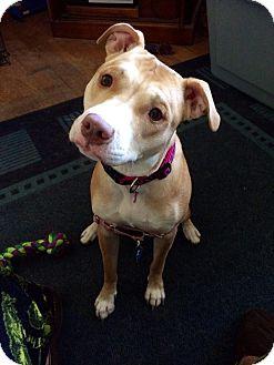 Pit Bull Terrier Mix Dog for adoption in Rochester, Minnesota - Lexie