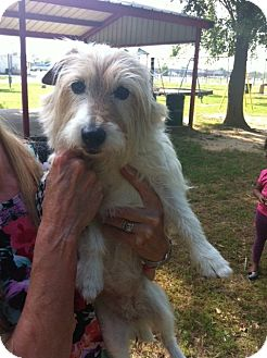 Jack Russell Terrier Dog for adoption in Dallas/Ft. Worth, Texas - Minnie in Dallas