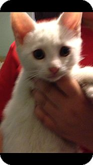Domestic Mediumhair Kitten for adoption in Pompton Lakes, New Jersey - Rocky