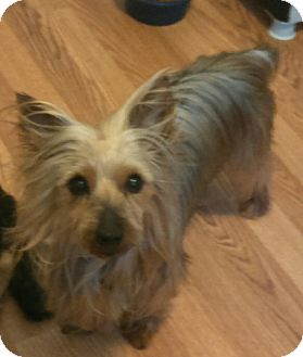 Silky Terrier/Yorkie, Yorkshire Terrier Mix Dog for adoption in temecula, California - Holly