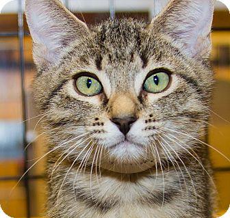 Domestic Shorthair Kitten for adoption in Irvine, California - Seamus