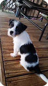 Schnauzer (Miniature) Mix Puppy for adoption in Rochester, New York - Cooper