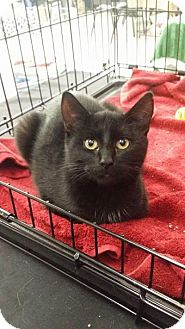 Domestic Shorthair Cat for adoption in Salamanca, New York - Buttons