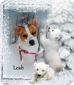 Labrador Retriever/Terrier (Unknown Type, Medium) Mix Dog for adoption in Crowley, Louisiana - Leah