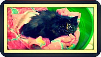 Domestic Longhair Kitten for adoption in Bryan, Ohio - Miss Muffett