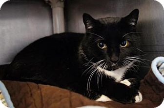 Domestic Shorthair Cat for adoption in New Milford, Connecticut - Sam