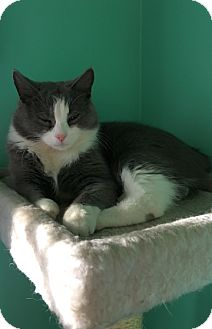 Domestic Mediumhair Cat for adoption in Huntsville, Alabama - Cupcake
