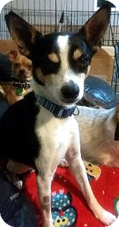 Rat Terrier Dog for adoption in Tijeras, New Mexico - Avery