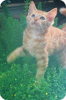 Domestic Shorthair Kitten for adoption in Homewood, Alabama - Morrison