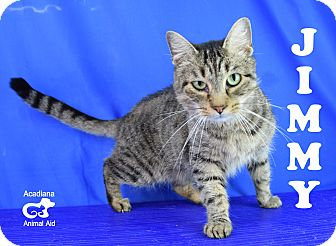 Domestic Shorthair Cat for adoption in Carencro, Louisiana - Jimmy