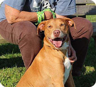 Retriever (Unknown Type)/Labrador Retriever Mix Dog for adoption in Elyria, Ohio - Hank