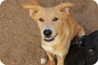 Australian Shepherd/Labrador Retriever Mix Puppy for adoption in Houston, Texas - A - RANGER
