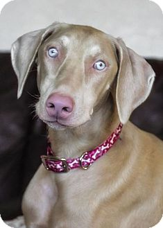 Doberman Pinscher Dog for adoption in El Cajon, California - Maya