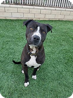 Pit Bull Terrier/American Staffordshire Terrier Mix Dog for adoption in Saugus, California - Apache