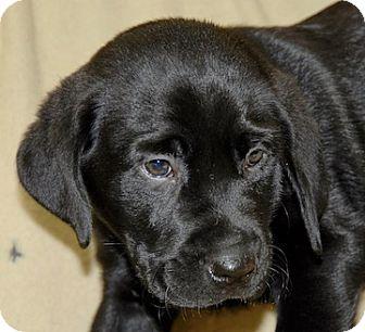 Labrador Retriever Mix Puppy for adoption in Portola, California - Lucky