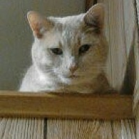 Domestic Shorthair Cat for adoption in Raleigh, North Carolina - Scotch C