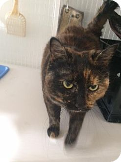 Domestic Shorthair Cat for adoption in Gunnison, Colorado - Wick