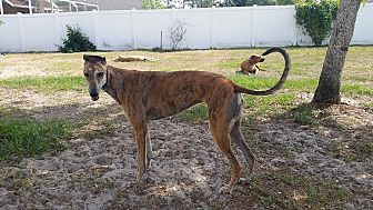 Greyhound Dog for adoption in Brandon, Florida - Leta