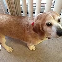 Adopt A Pet :: Ginger Hughes - Waldorf, MD