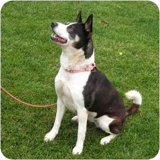 Akita/Siberian Husky Mix Dog for adoption in San Clemente, California - MOLLY