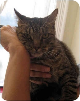 Domestic Shorthair Cat for adoption in New York, New York - Scarface