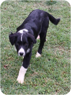 Border Collie/Australian Shepherd Mix Dog for adoption in Oliver Springs, Tennessee - Max