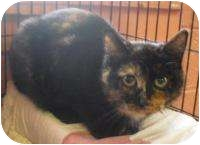 Domestic Shorthair Cat for adoption in Honesdale, Pennsylvania - Snickers