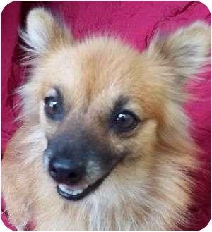 Pomeranian Mix Dog for adoption in Spring Valley, New York - Evangeline