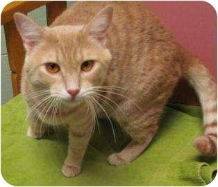 Domestic Shorthair Cat for adoption in Jackson, Michigan - Nestor