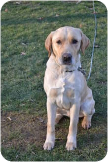 Labrador Retriever Dog for adoption in Lewisville, Indiana - Bobby