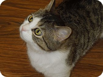 Domestic Shorthair Cat for adoption in Medina, Ohio - Angelina