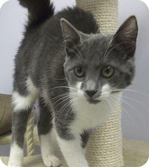 Domestic Shorthair Kitten for adoption in Wheaton, Illinois - Jessie