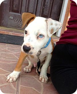 American Bulldog Mix Puppy for adoption in Miami, Florida - Glenn