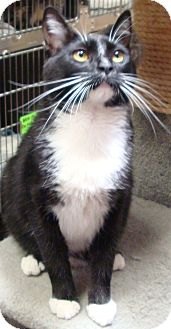 Domestic Shorthair Cat for adoption in St. Petersburg, Florida - Pluto