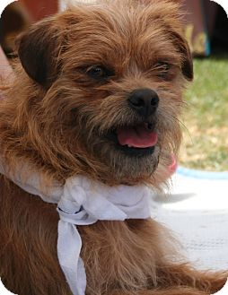 Brussels Griffon Mix Dog for adoption in Scottsdale, Arizona - Griff