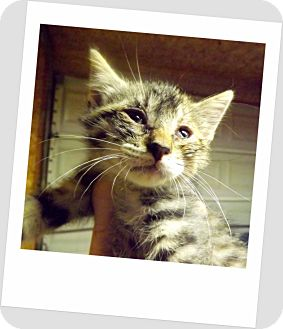 Domestic Shorthair Kitten for adoption in Owosso, Michigan - Chance