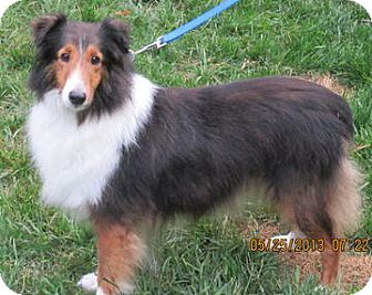 Sheltie, Shetland Sheepdog Dog for adoption in Charlottesville, Virginia - Katie