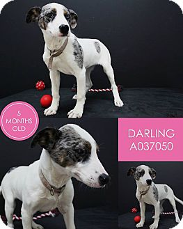 Pit Bull Terrier Mix Puppy for adoption in Lufkin, Texas - Darling