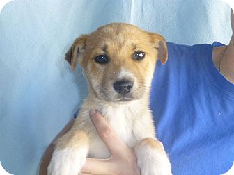 Border Collie/Australian Shepherd Mix Puppy for adoption in Oviedo, Florida - Mason