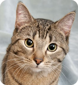 Domestic Shorthair Cat for adoption in Chicago, Illinois - Ralph